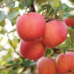 山东烟台水晶富士苹果4.5-5斤