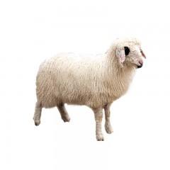 盐池滩羊 一起养羊